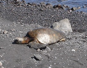 Sea turtle sunning itself on a black sand beach. (No, this turtle is not dead as one horrified friend thought.)